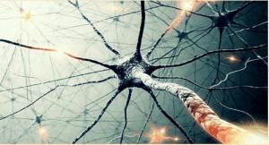 système nerveux anatomie